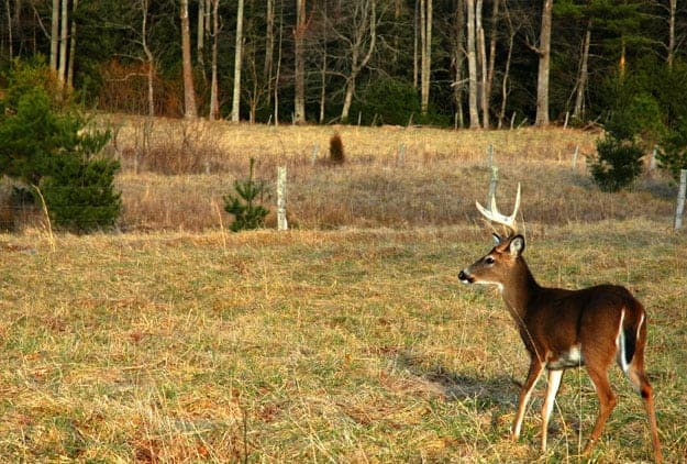 Young buck stands in a field in Cades Cove in the Smoky Mountains