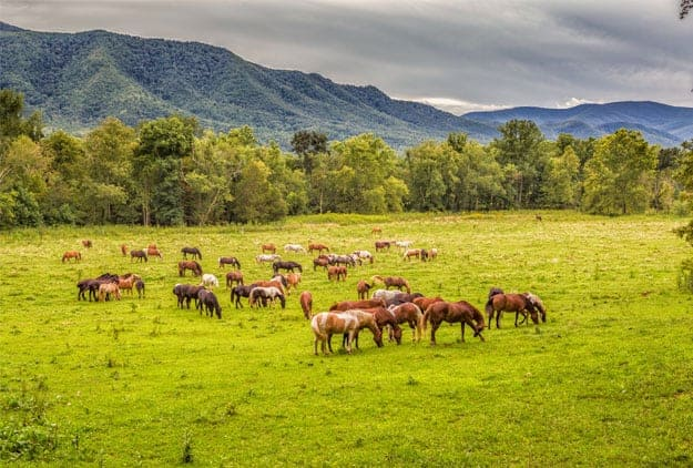 Horses graze in green field with beautiful Smoky Mountains in gackground