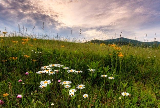 A field of colorful wildflowers bloom on hillside in Cades Cove with purple sky and mountains in background