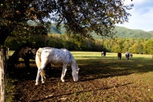 Horse grazing before Cades Cove horseback riding.
