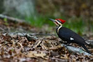Pleated woodpecker, a great example of Cades Cove wildlife.