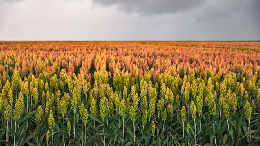 Everything You Need to Know about Muddy Pond Sorghum Mill